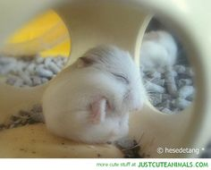cute animals | little white hamster sleeping house cute animals wild wildlife species ...