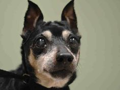 SAFE   *  SUPER URGENT 11/18/14 Manhattan Center   ROSIE - A1021033   SPAYED FEMALE, BLACK / BROWN, MIN PINSCHER, 13 yrs OWNER SUR - EVALUATE, NO HOLD Reason MOVE2PRIVA  Intake condition GERIATRIC Intake Date 11/18/2014, From NY 10461, DueOut Date 11/18/2014,