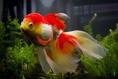 about 3 kg of grain stone for aquariums and terrariums Dekostein Comet Goldfish, Oranda Goldfish, Goldfish Aquarium, Goldfish Bowl, Colorful Fish, Tropical Fish, Fish Information, Discus Fish, Salt Water Fish