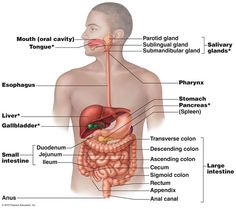 Which Of The Following Is An Accessory Organ Of Digestion 18 Best Digestive System Images On Pinterest  Human Digestive