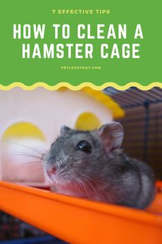 They are living in a cage and can't get out. Their urine and dropping rest inside the cage. So you have to know how to clean the hamster cage properly. Hamster Accessories, Rotten Food, Exercise Wheel, Hamster Cages, Hamsters, Cleaning Solutions, Guinea Pigs, Washing Clothes, How To Stay Healthy