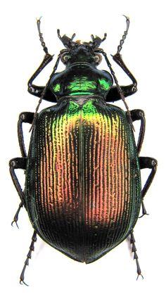 Calosoma (Calosoma) oceanicum klynstrai Breuning, 1927