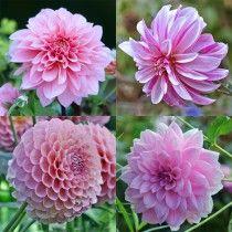 Dahlia-pakke: Bedste rosa