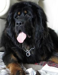 1000+ images about Tibetan Mastiff on Pinterest | Tibetan ...