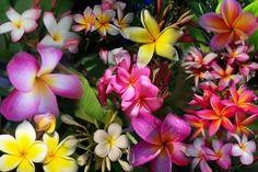 Beautiful plumerias