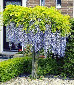 Blauregen auf Stamm,1 Pflanze 30 €