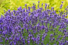 10 Flowers That Attract Bees to Your Garden Best Flowers For Bees, Amazing Flowers, Bee Friendly Plants, Arrowhead Plant, Plants For Hanging Baskets, Raising Bees, Hillside Landscaping, Hardy Perennials, Hobby Farms