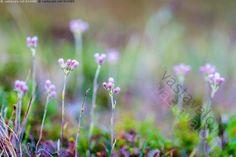 Ahokissankäpälä - Antennaria dioica Käsivarsi Lappi Saana heinäkuu kesä kissankäpälä kuivakkokasvi kukassa kukat kukka luonnonkasvi luonnonvarainen
