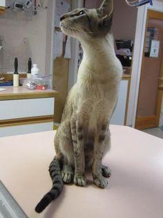 Petfinder  Adopted | Oriental Short Hair | Cat | Boise, ID | Diego