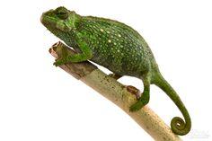 Pfeffers Chameleon - Trioceros Pfefferi - Female Wild caught male from Cameroon