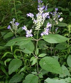 """Wildflowers of Western Pennsylvania:  Scutellaria incana A branched, square-stemmed 1-3' plant.  The 1/2-1"""" flowers are in slender racemes from the upper leaf axils and are paired on nearly opposite sides of the stem. The long, slender corolla is softly hairy and pale blue-to-purple, has a hooded upper lip and slightly shorter lower one. The calyx is downy.  Blooms June-September in dry woods, thickets."""