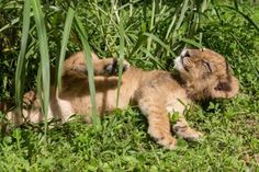 You may remember when Zooborns covered the three Lion cubs at Busch Gardens Tampa Bay, one male and two unrelated females. Now, their Facebook fans voted to name the two sister cubs. Discover what their names are, and watch a video of the trio tumbling, stalking and pouncing on each other, today on ZooBorns.com. http://www.zooborns.com/zooborns/2013/07/update-lion-cubs-at-busch-gardens-tampa-bay.html