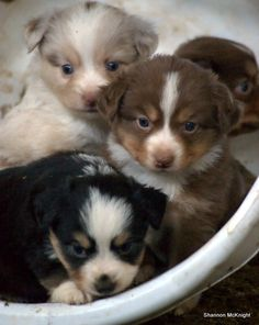 Miniature Australian Shepards