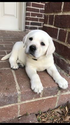"Labrador retrievers, or ""Labs"" as they've become fondly known, are one of the most popular dog breeds of our time. Lab Puppies, Cute Dogs And Puppies, I Love Dogs, Doggies, Animals And Pets, Funny Animals, Sweet Dogs, Popular Dog Breeds, Labrador Retriever Dog"