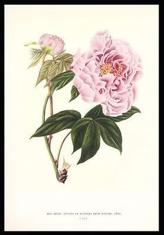 paperink id: prints310 Chinese Peony Botanical Print Gordon Dunthorne 1938 Flower and Fruit Prints of 18th and Early 19th Centuries. Lovely vibrant colored original flower print from Gordon Dunthorne'