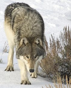 Wild gray wolf in Montana back country.