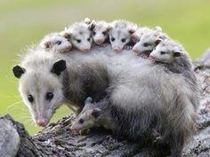 Zarigüeyas bebé junto a su madre.