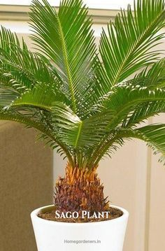 Sago palm is a beautiful ornamental plant in your home and garden. To grow sago palm from seeds in pots, start from sowing them in pots as they just need little care to maintain. Potted Palms, Indoor Palms, Indoor Flowers, Potted Trees, Palm Trees Landscaping, Patio Trees, Patio Plants, Mini Palm Tree, Palm Tree Plant