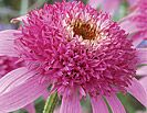 Raspberry Truffle PPAF Echinacea Seeds and Plants, Perennial Flower Garden at Burpee.com