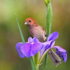 IMG_4723 粉紅鸚嘴1 Vinous-throated Parrotbill
