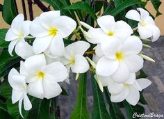 Jasmim do Caribe - Plumeria pudica Plumeria Pudica, Big Plants, Exotic Plants, Flower Lei, Flower Pots, Growing Flowers, Planting Flowers, Flower Pot Design, Plumeria Flowers