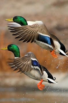 Mallard drakes. the top one has a glint in its eyes like Mini Charley so watch out