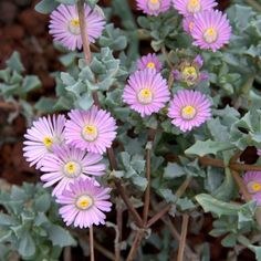 Oscularia deltoides (Deltoid-leaved Dew Plant) is a low growing, gray succulent shrublet. This plant smothers the ground up to 1 foot. Succulent Names, Succulent Seeds, Succulent Gardening, Garden Plants, Indoor Plants, Flowering Succulents, Growing Succulents, Cacti And Succulents, Planting Succulents