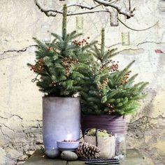 T P V D M // #Spar is de Tuinplant van de maand december! Lees alles over deze vrolijke boom en meer over #kerst op mooiwatplantendoen.nl! 🌲 #WinterWonderPlants #mooiwatplantendoen