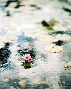 waterlilies, like an impressionist painting