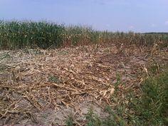El argumento:  En el cuento, no es un argumento de los personajes.  En el cuento, granizo destruye el maiz.