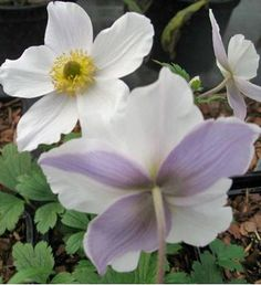 Anemone x hybrida Wild Swan - Vivace  H X L adulte :80 X 60 cm  Floraison : Août à Octobre  Une superbe anémone aux fleurs blanches, au revers mauve.   Exposition au soleil ou à mi-ombre. Sol ordinaire, humifère, frais. Rustique, au moins jusqu'à -15°C.  Feuillage caduc. Port Erigé. Intérêt estival, automnal.