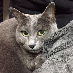 甘え上手。  #グリコ #cat #cats #instacat #cute #catlover #neko #ねこ #ネコ #ねこ部  #ねこら部 #猫 #ロシアンブルー #ペコねこ部 #picneko #ピクネコ #愛猫 #ネコラブ #nekolove