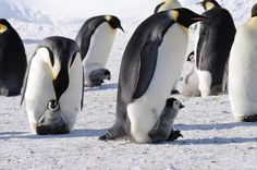 Emperor penguin adults attending to their chicks at Cape Crozier, Ross Island, Antarctica. Emperor penguins can dive to depths of 500 meters for 5 to 12 minutes at a time. Penguin Love, Cute Penguins, Love Is Blue, Baby Animals, Cute Animals, Artic Animals, Penguin Pictures, Marine Reserves, Mundo Animal