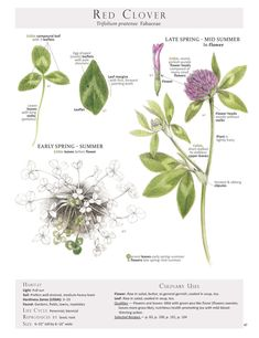 Selected pages from the book Foraging and Feasting: A Field Guide and Wild Food Cookbook by Dina Falconi and Illustrated by Wendy Hollender. These Plant Identification Pages are useful when identifying Wild Edible Plants in the field. Healing Herbs, Medicinal Plants, Magic Flower, Clover Plant, Permaculture, Edible Wild Plants, Plant Identification, Wild Edibles, Botanical Drawings