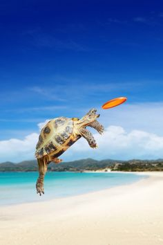 Tortoise wins frisby contest.  upset of the century.  Crowd goes wild!!  Film at 11.