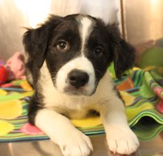 Available for adoption. 8 week old Border Collie mix named Olaf. www.jfcountypets.com