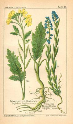 1893 Wild Radish and Common Milkwort Original Antique Chromolithograph to Frame Flower Doodles, Doodle Flowers, Herbaceous Perennials, Antique Prints, Botanical Illustration, Botanical Prints, Botany, Vintage Images, Wild Flowers