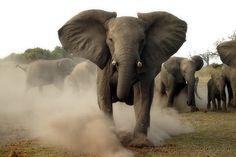 elephant #ivoryforelephants #stoppoaching #elephants for #ivory ! #animals