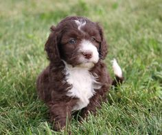 Crockett Doodles - Family Raised Doodle Puppies for Sale White Labradoodle, Chocolate Labradoodle, Labradoodle Puppies For Sale, Cavapoo Puppies, Cute Puppies, Cute Dogs, Dogs And Puppies, Doggies, Puppys