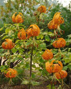 Lilium humboldtii//tiger lilies