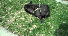 Bulldog Francês Assusta-se Com o Barulho Do Seu Próprio Peido