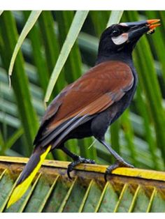 Baudo Oropendola, NW Columbia: .Neotropical Birds - Cornell Univ