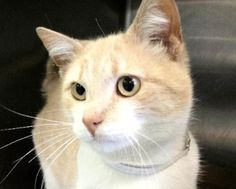 Beautiful and friendly orange and white tiger kitty waiting at the shelter.