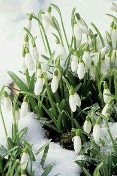 Snowdrops & Snow .....