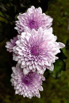 Lavender Dahlias