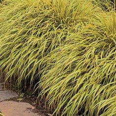 Enjoy Golden Hakone Grass during the Fall season. Sun Plants, Summer Plants, Fall Plants, Shade Plants, Best Grass For Shade, Shade Grass, Best Perennials, Shade Perennials, Perennial Grasses