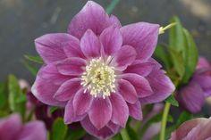 Lenten Rose for sale buy Helleborus x hybridus 'Berry Swirl'