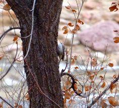 Christmas Bird Counts (Fountain 12-17-14 and Colorado Springs 12-20-14)