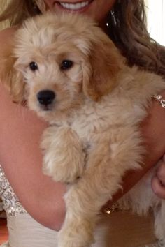 And more mini goldendoodle