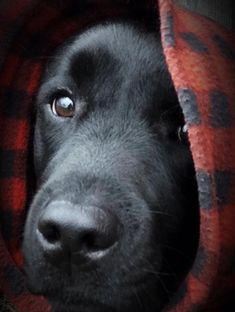 Mind Blowing Facts About Labrador Retrievers And Ideas. Amazing Facts About Labrador Retrievers And Ideas. Black Lab Puppies, Labrador Puppies, Labrador Retriever Dog, Cute Puppies, Cute Dogs, Boxer Dogs, Golden Retrievers, My Animal, Beautiful Dogs